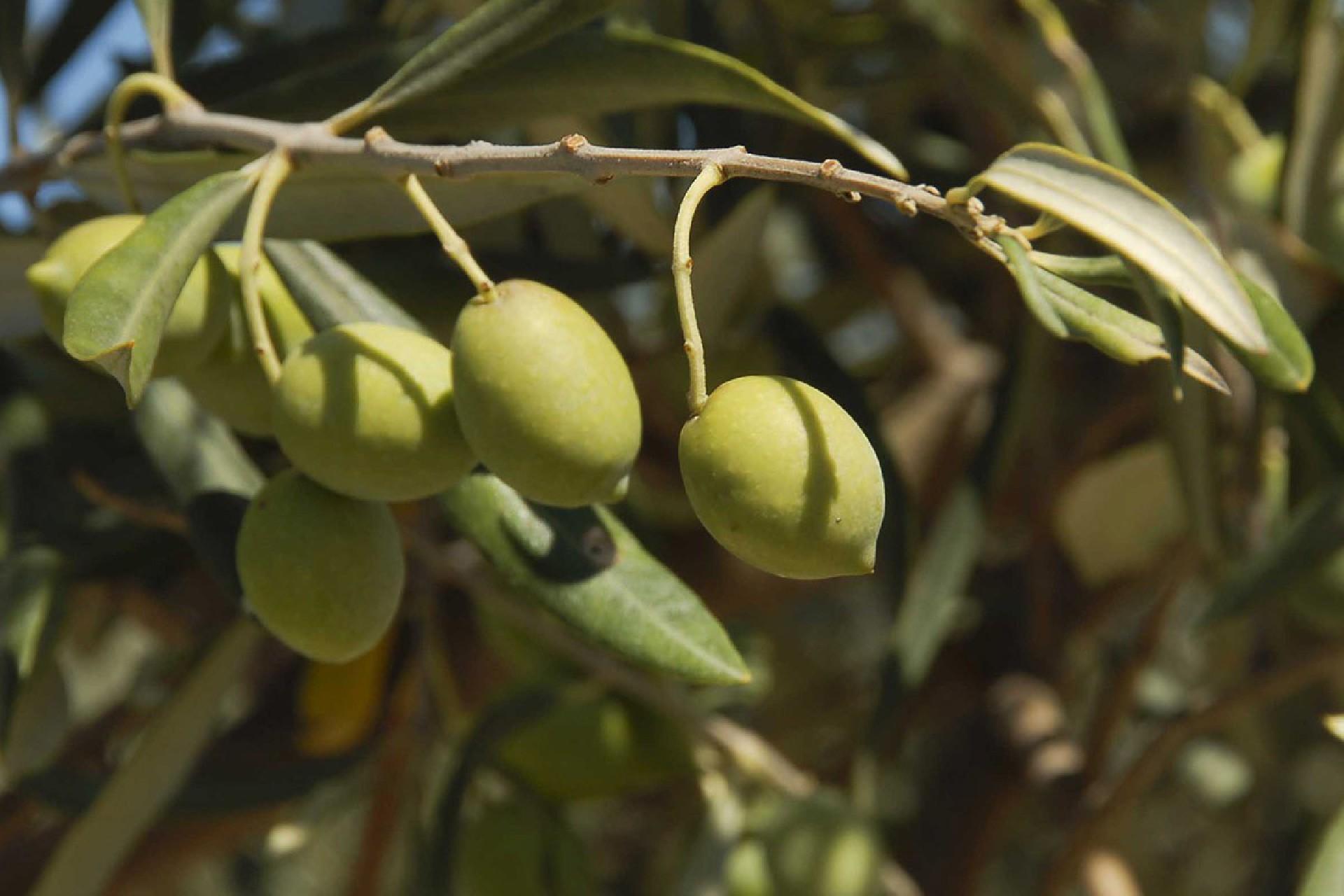 olio-extravergine-oliva-biologico-goel-bio-calabria